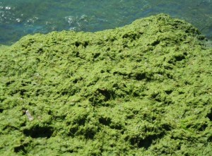 Microcystis2014LakeErieFromFlicker